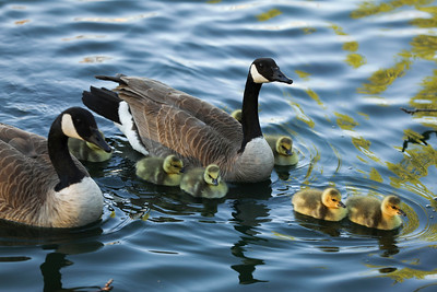 Newborn goslings swim with their parents. The goslings pictured are now teenagers. About 40 of them were seen April 1 and again on Monday hanging around a pond on California Park Drive in Chico. (Carin Dorghalli -- Enterprise-Record)