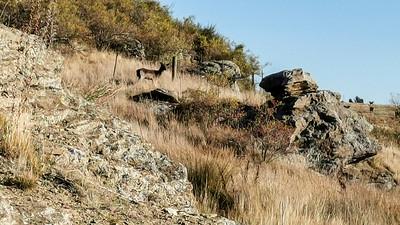 20210501 Deer - Otago Rail Trail - Johns mob 216