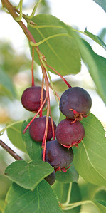 Sarvisberry 2