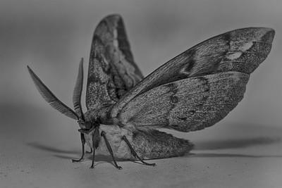 Mammoth Moth