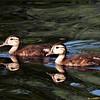 baby wood ducks
