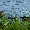 Mama Wood Duck and ducklings