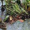 Mama Mallard and ducklings