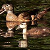 wood duck and baby wood duck