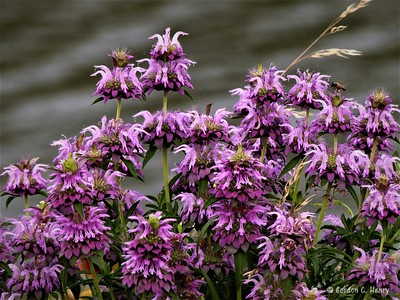 purple horsemint (lemon beebalm)