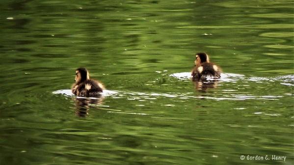 baby ducks (mallards)