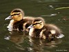 baby ducks (mallards)