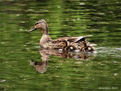 mallard (female) with baby ducks