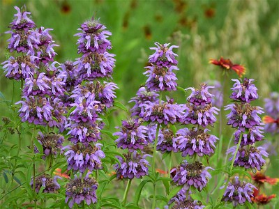 lemon beebalm