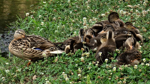 Momma Mallard and ducklings