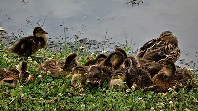 Momma Mallard and ducklings