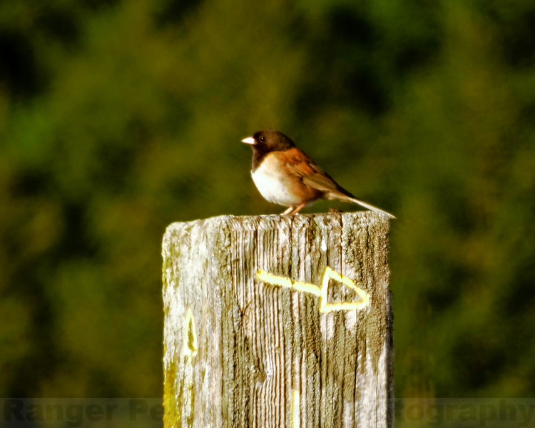 Junco on a Signpost