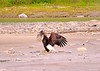 Bald Eagle flew down at Talkeetna River and was trying to pick up this branch 6-9-11