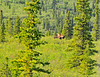 Natural history ride from Denali 6-10-11-saw a moose