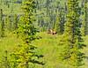 Natural history ride from Denali 6-10-11-saw a moose