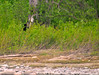 Sighting of the Black Bear on the Jet Boat ride 6-9-11