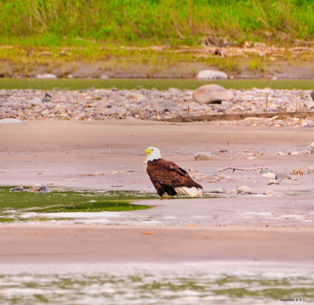 Bald Eagle Parent just left the nest 6-9-11-Talkeetna River