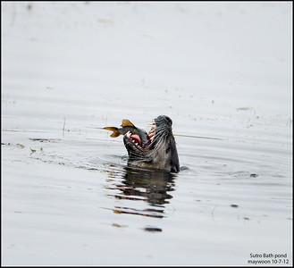 Amer River Otter 10-7-12