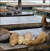 Sealions Pier 39 9-25-12