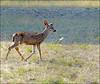 Mule deer -Angel Island 9-25-12