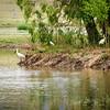 Royal Spoonbill-Daisy Hill 10-31-09