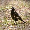 Australian Magpie -Daisy Hill in Brisbane 10-31-09