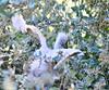 snowy Chick 7-18-11 Baylands