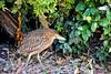 Juv Black-Crowned Night Heron-Baylands 7-18-11