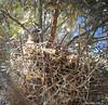Black-Crowned Heron -Baylands 7-18-11