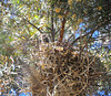 Black-Crowned Night Heron 7-18-11
