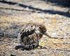 Black -Crowned night Heron -Nestling -Baylands7-18-11