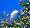 Juv Snowy Egret 7-18-11