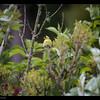 American Goldfinch 5-25-17