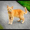 yellow kitten 5-14-11-neighbor across the street