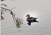 Wood duck-Lake Merced