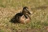 Mallard duck-Female