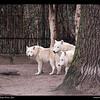 Berlin Zoo-Artic Wolfs (Polarwolf)