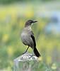 Female Great-tailed Grackle-Lake Merced 5-14-12