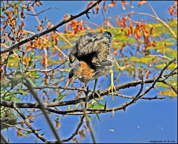 Juvenile Green Heron -Heather Farm park Walnut Creek 8-6-12