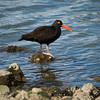 Male Black Oystercatcher 3-4-09