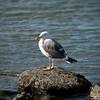 Western seagull 3-4-09