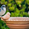 Western Scrub Jay in my backyard getting a drink of water 9-23-08