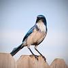 Male Western Scrub Jay backyard 1-14-09