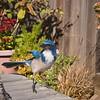 Western Scrub Jay 9-27-08 backyard