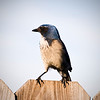 Female Western Scrub Jay taken from my backyard 1-14-09 in the late <br /> afternoon. This pair of jays has been coming to my backyard for peanuts since Sept 19, 2008