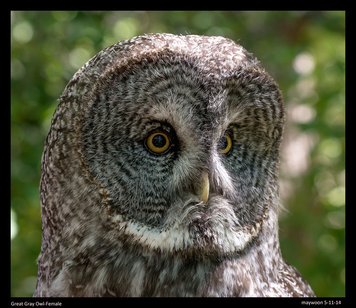 Great Gray Owl-Female named Shadow-came to the museum 1999 from Minnesoto