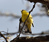 Female Lesser Goldfinch 4-18-13-Oregon