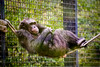 Chimpanzee balancing on a rope to rest 7-9-10