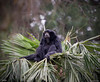 Siamang on top of a Palm tree 7-9-10-Oakland Zoo