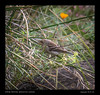 SF Botanical -with Rob Cullison & Calvin Lou-Indigo Bunting